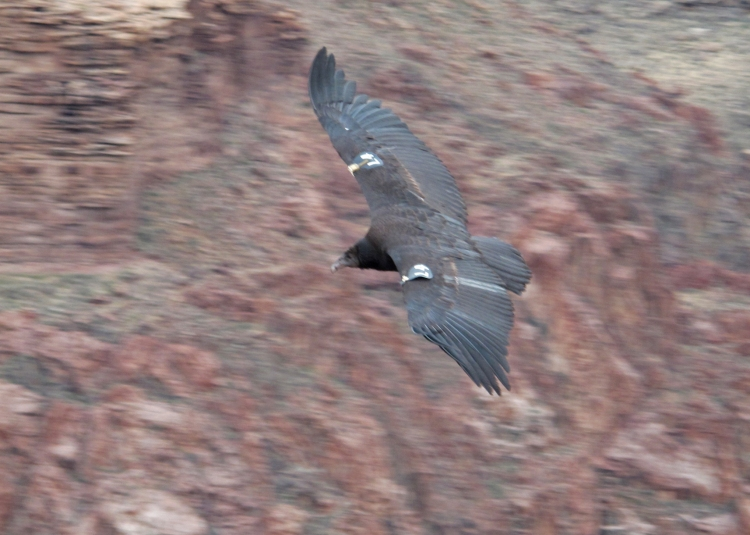 Condor in flight off the tip of Plateau Point