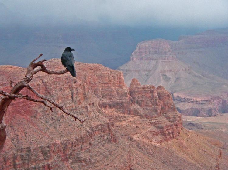 Raven Grand Canyon