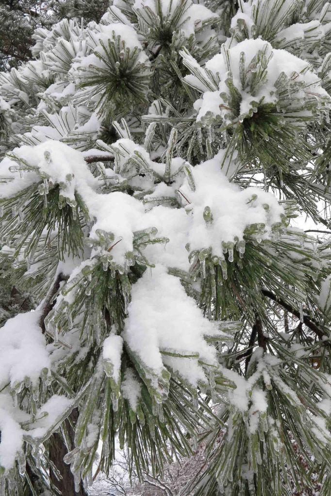 Ice, then snow on pines.