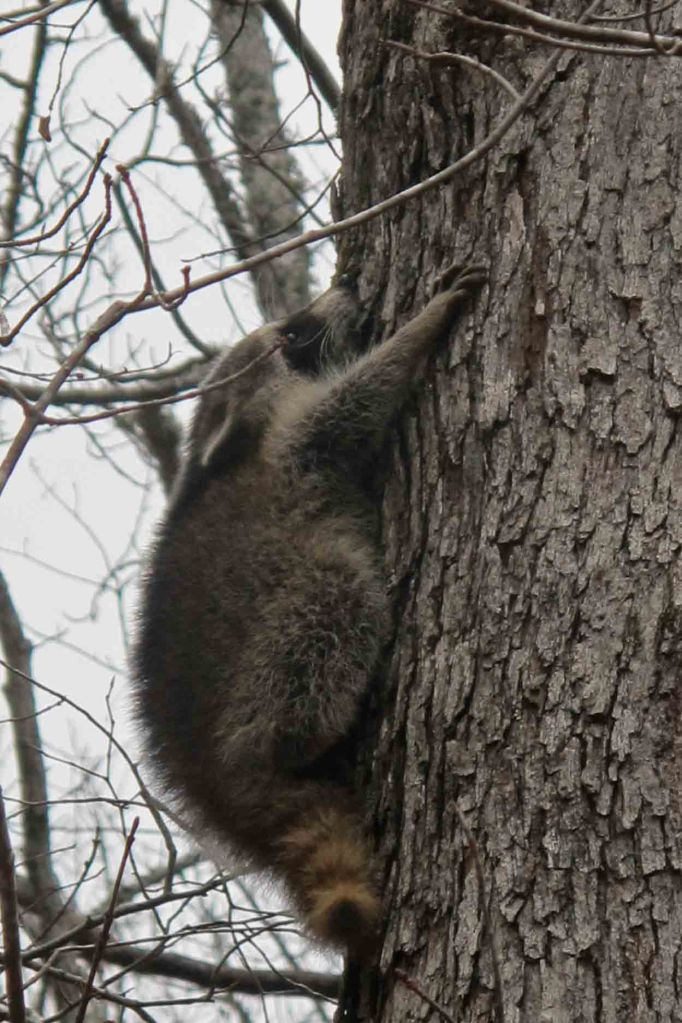 Raccoon next  to the OHT.