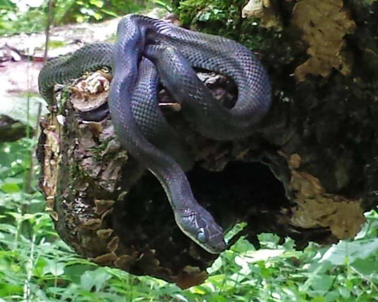 OHT snake