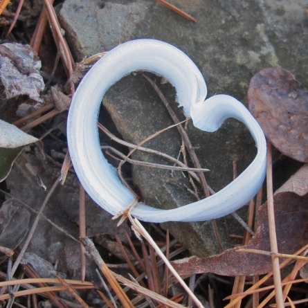 Frost flower next to the Ozark Highlands Trail