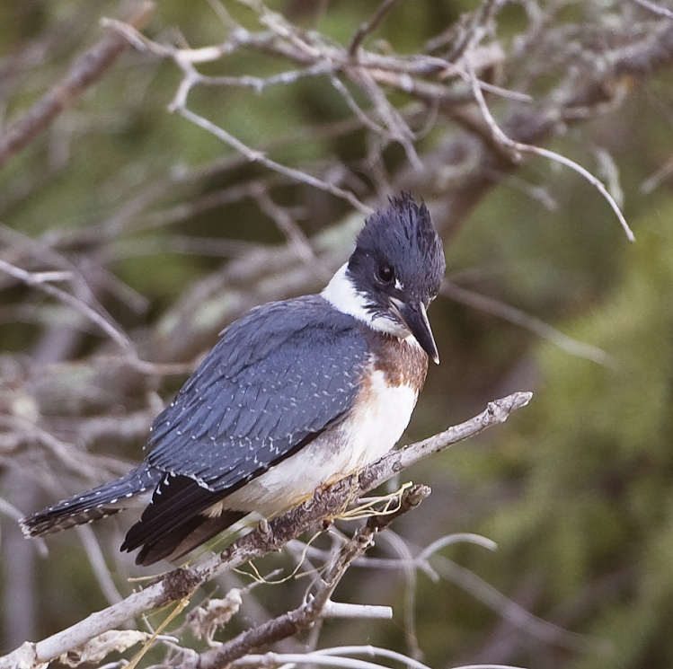 Hess-13.08.02.Belted-Kingfisher.01