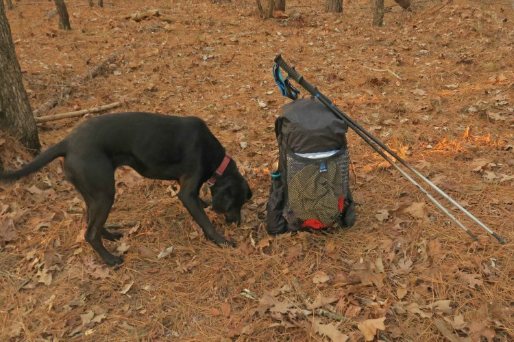 Black hiking dog sniffing around the pack it the woods.
